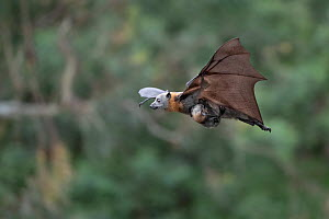 Grey-headed flying-fox (Pteropus poliocephalus) flying during a very light rain shower with her baby / pup hanging on. Yarra Bend Park, Kew, Victoria, Australia. November.  -  Doug Gimesy
