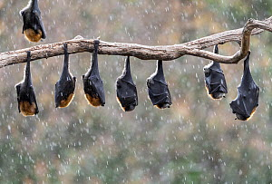 Grey-headed flying-foxes (Pteropus poliocephalus) hang from a branch during a light summer rain shower. Yarra Bend Park, Kew, Victoria, Australia. November.  -  Doug Gimesy