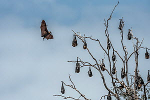 Grey-headed flying-foxes (Pteropus poliocephalus) hang in a tree with one coming in to land. Yarra Bend Park. Kew, Victoria, Australia. November.  -  Doug Gimesy