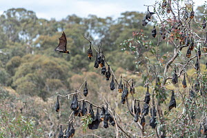 Grey-headed flying-foxes (Pteropus poliocephalus) hang in a tree with one coming in to land. Yarra Bend Park. Fairfield, Victoria, Australia. November.  -  Doug Gimesy