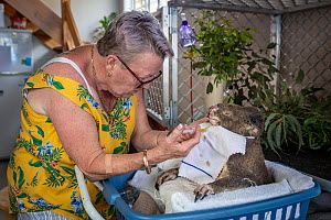 Sue Swain gives a bush fire victim koala (Phascolarctos cinereus) named 'Sooty', a dietary supplement in her garage. 'Sooty' was very badly burnt during the Taree bushfires (NSW) in November 2019. His...  -  Doug Gimesy