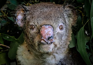Portrait of a burnt koala (Phascolarctos cinereus) named 'Flash', a victim of the bushfires at Hillville near Taree (NSW). He arrived into care with a burnt nose, burnt hands and feet. Despite... - Doug Gimesy