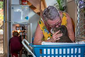 Sue Swain kissing rescued bush fire victim koala (Phascolarctos cinereus) named 'Sooty'. Sooty was very badly burnt during the Taree bushfires (NSW) in November 2019. His nose, hands, feet and chin we...  -  Doug Gimesy