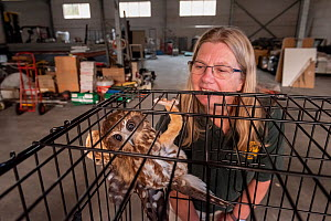 Jacky Hunt,  specialist in bird rescue and rehabilitation, with a Boobook Owls (Ninox boobook), which she is providing temporary accommodation for in her factory. These birds were evacuated from the W...  -  Doug Gimesy