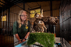 Jacky Hunt, specialist in bird rescue and rehabilitation, with two Boobook owls (Ninox boobook), which she is providing temporary accommodation for in her factory. These birds were evacuated from the... - Doug Gimesy