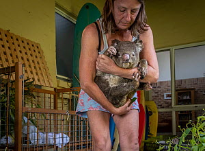 Julie Jennings, senior wildlife carer for Port Stephens Koalas, move bushfire a burnt Koala (Phascolarctos cinereus) named 'Flash' from his enclosure to allow her to clean the enclosure and check and...  -  Doug Gimesy