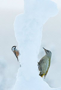Siberian Tit (Parus cinctus) and Grey-heades woodpecker (Picus canus), Kuusamo, Finland, January.  -  Markus Varesvuo