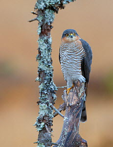 Sparrowhawk (Accipiter nisus) perched on snag, Norway, October. - Markus Varesvuo