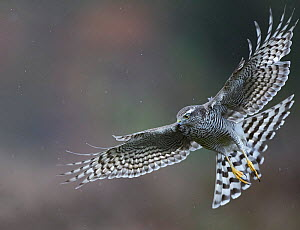 Sparrowhawk (Accipiter nisus) adult female, Norway, October.  -  Markus Varesvuo