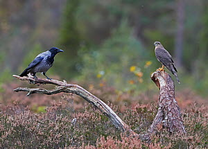 Sparrowhawk (Accipiter nisus) and a Hooded Crow (Corvus corone cornix) Norway, October.  -  Markus Varesvuo