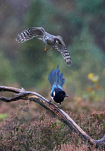 Sparrowhawk (Accipiter nisus) juvenile and a Magpie (Pica pica) Norway, October.  -  Markus Varesvuo