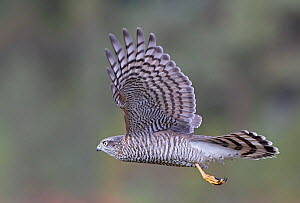 Sparrowhawk (Accipiter nisus) juvenile flying , Norway, October. - Markus Varesvuo