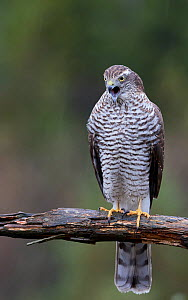 Sparrowhawk (Accipiter nisus) juvenile trying to vomit a pellet Norway, October. - Markus Varesvuo