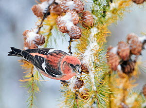 Two-barred Crossbill (Loxia leucoptera) male feeding on Cone seeds, Helsinki Finland, November. - Markus Varesvuo