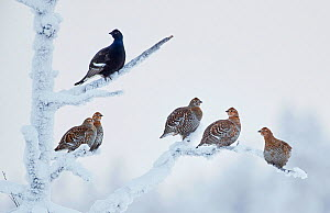 Black Grouse (Lyrurus tetrix) male with group of females, Suomussalmi Finland, January. Commended in Bird Photographer of the Year competition 2020.  -  Markus Varesvuo