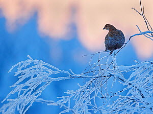 Black Grouse female (Lyrurus tetrix) perched on frost covered branch, Suomussalmi Finland, January. - Markus Varesvuo