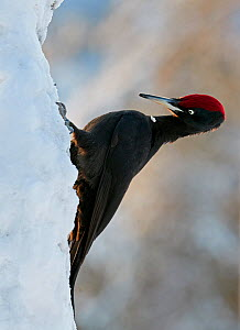 Black Woodpecker (Dryocopus martius) male perched on tree trunk, Finland, January.  -  Markus Varesvuo