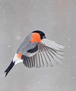 Bullfinch (Pyrrhula pyrrhula) in flight, Kuusamo, Finland, March.  -  Markus Varesvuo