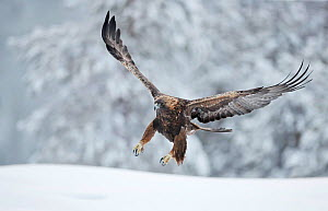 Golden eagle (Aquila chrysaetus) landing in snow, Kuusamo, Finland, December..  -  Markus Varesvuo