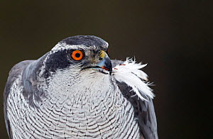 Goshawk (Accipiter gentilis) plucking a Willow Grouse (Lagopus lagopus) Liminka, Finland, March.  -  Markus Varesvuo