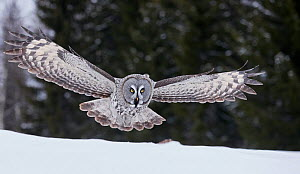 Great Grey Owl (Strix nebulosa) hunting over snow, Kuhmo Finland, March.  -  Markus Varesvuo
