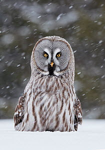 Great Grey Owl (Strix nebulosa) Kuhmo Finland, March.  -  Markus Varesvuo