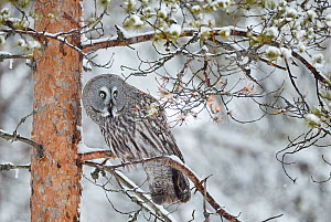 Great Grey Owl (Strix nebulosa) perched on in snowy pine tree, Kuhmo Finland, March. - Markus Varesvuo