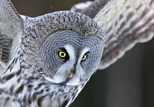 Great grey owl (Strix nebulosa) Kuhmo, Finland, March.  -  Markus Varesvuo