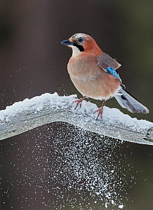 Jay (Garrulus glandarius) perched on snowy branch, Liminka Finland, February.  -  Markus Varesvuo
