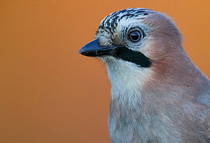 Jay (Garrulus glandarius) portrait, Norway, October.  -  Markus Varesvuo