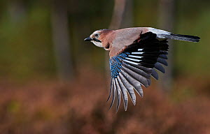 Jay (Garrulus glandarius) in flight, Norway, October.  -  Markus Varesvuo
