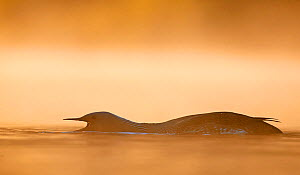 Red-throated Diver (Gavia stellata) calling, with head low to water, at dawn, Iceland, June.  -  Markus Varesvuo