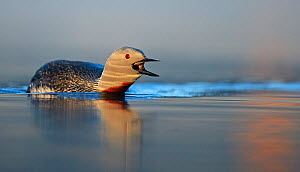 Red-throated Diver (Gavia stellata) calling, Iceland, June.  -  Markus Varesvuo