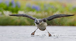 Red-throated Diver (Gavia stellata) taking off with fish prey, Iceland, June.  -  Markus Varesvuo