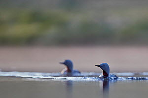 Red-throated Diver (Gavia stellata) two on water, Iceland, June.  -  Markus Varesvuo