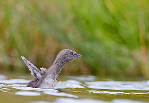 Red-throated Diver (Gavia stellata) chick, Iceland, June.  -  Markus Varesvuo