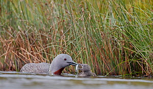 Red-throated Diver (Gavia stellata) feeding a chick, Iceland, June.  -  Markus Varesvuo