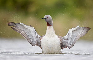 Red-throated Diver (Gavia stellata) flapping wings, Iceland, June.  -  Markus Varesvuo