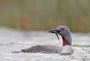 Red-throated Diver (Gavia stellata) feeding, Iceland, June.  -  Markus Varesvuo