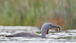 Red-throated diver (Gavia stellata) bringing fish for the chicks, Iceland, June.  -  Markus Varesvuo