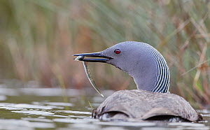Red-throated diver (Gavia stellata) bringing fish for the chicks Iceland, June.  -  Markus Varesvuo