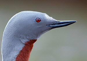 Red-throated Diver (Gavia stellata) portrait, Iceland, June. - Markus Varesvuo