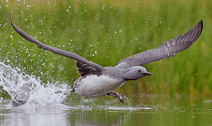 Red-throated Diver (Gavia stellata) taking off, Iceland, June.  -  Markus Varesvuo