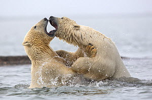 Polar bears (Ursus maritimus) fighting in water. Beaufort Sea , Kaktovik Alaska. USA. Highly commended in the Polar Passion category of the Nature's Best Photography Competition 2019.  -  Diane  McAllister