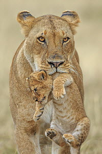 African lion (Panthera leo) female carrying young cub, Masai Mara, Kenya, Africa. Highly commended in the African Wildlife Category of the Nature's Best Photography Competition 2019.  -  Andy Rouse