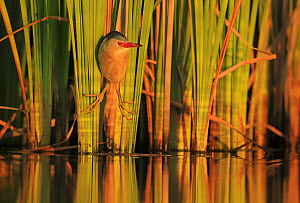 Little Bittern (Ixobrychus minutus) hunting in reeds, Bulgaria. Horizontal version of 01609394. Highly honoured in the Bird Category of the Nature's Best Photography Competition 2019.  -  Andy Rouse