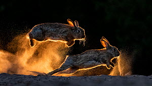 European rabbits (Oryctolagus cuniculus) fighting each other, Kiskunsag National Park, Hungary. June. Winner, General Fauna Category, 2019 Cadiz Photo Nature Competition.  -  Bence Mate