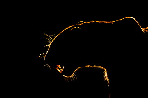 Silhouette of an African leopard (Panthera pardus pardus) snarling, Mkuze, South Africa. September. 'White Fang' - this leopard bared its fangs to the hyenas threatening his prey. Eventually t... - Bence Mate