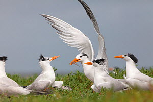 Royal Tern (Thalasseus / Sterna maxima) arriving at the breeding colony with fish in beak, Ria Lagartos Biosphere Reserve, Yucatan Peninsula, Mexico, July  -  Claudio  Contreras