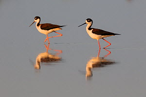 Black-necked Stilt (Himantopus mexicanus) two in water, Chuburna, Yucatan Peninsula, Mexico, January  -  Claudio  Contreras